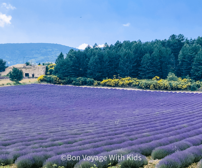 provence lavender field provence with kids