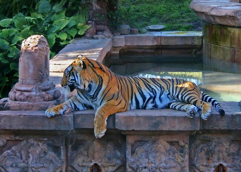 best disney rides for toddler bengal tiger at disney's animal kingdom