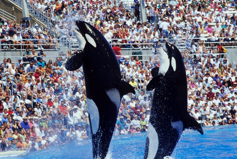 San Diego Sea World Orca Whales jumping from Water