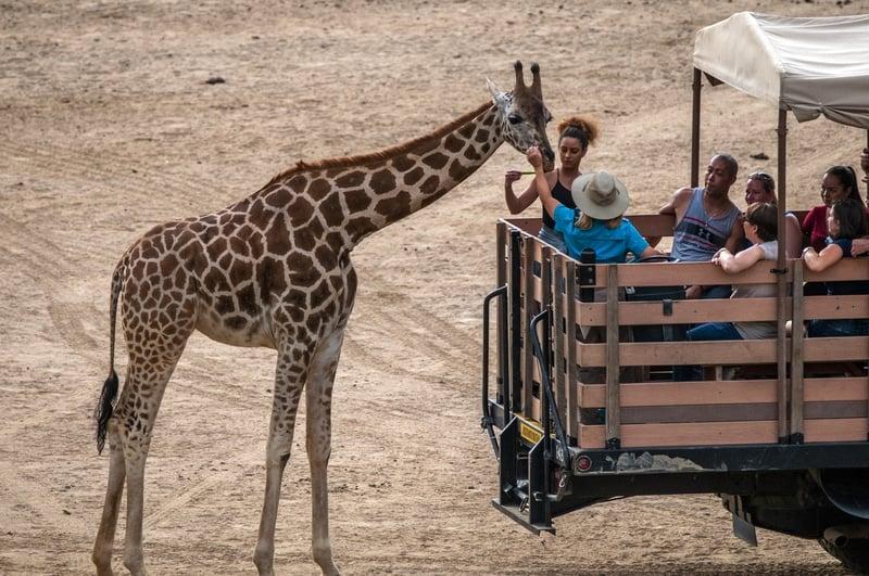 San diego wild animal park safari giving food to giraffe