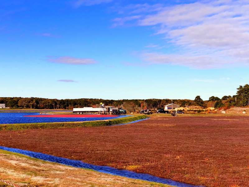 Cranberry Bogs on Cape Cod